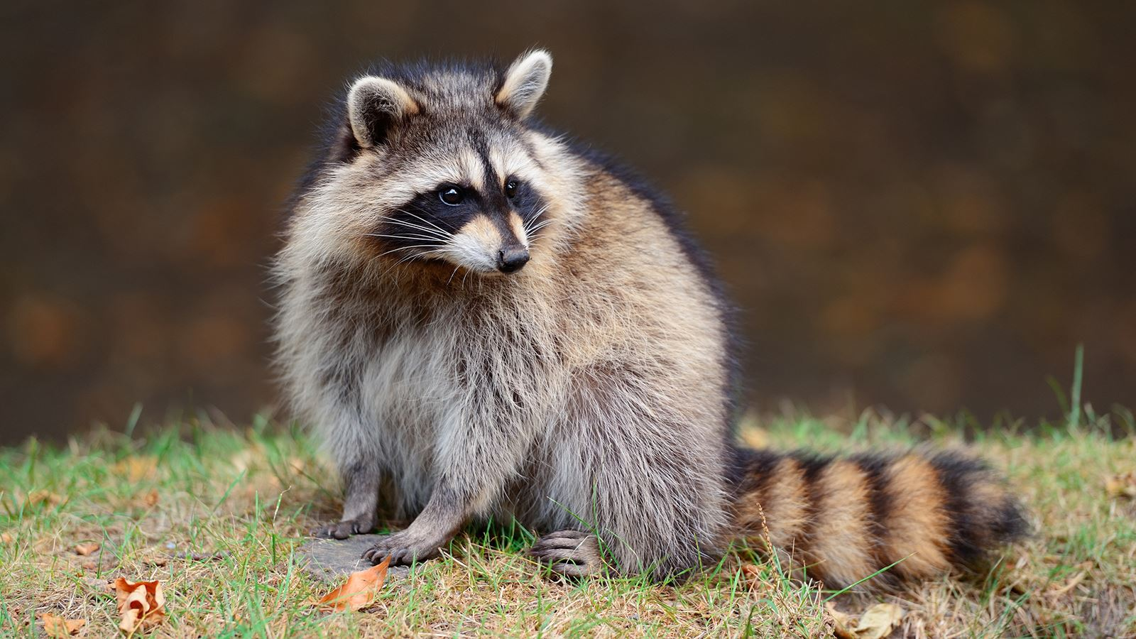 raccoon-grass